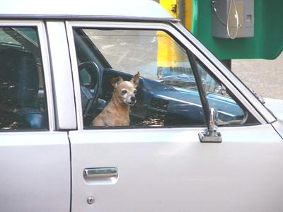 hundo en automobilfenestro